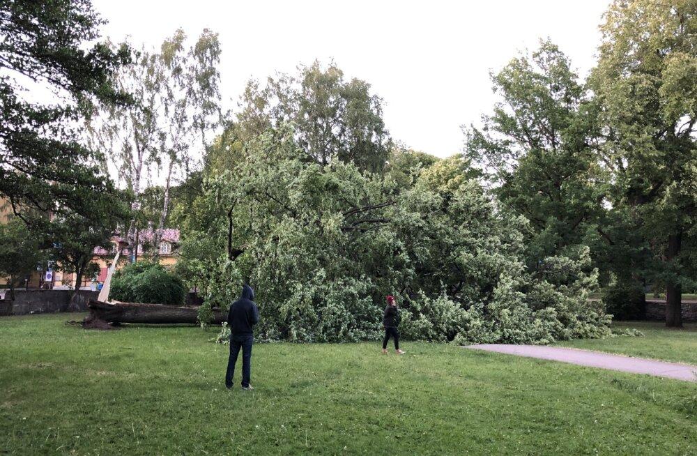 LUGEJA FOTOD | Ohtlik olukord: Tallinna südalinnas Falgi pargis murdus maha suur puu