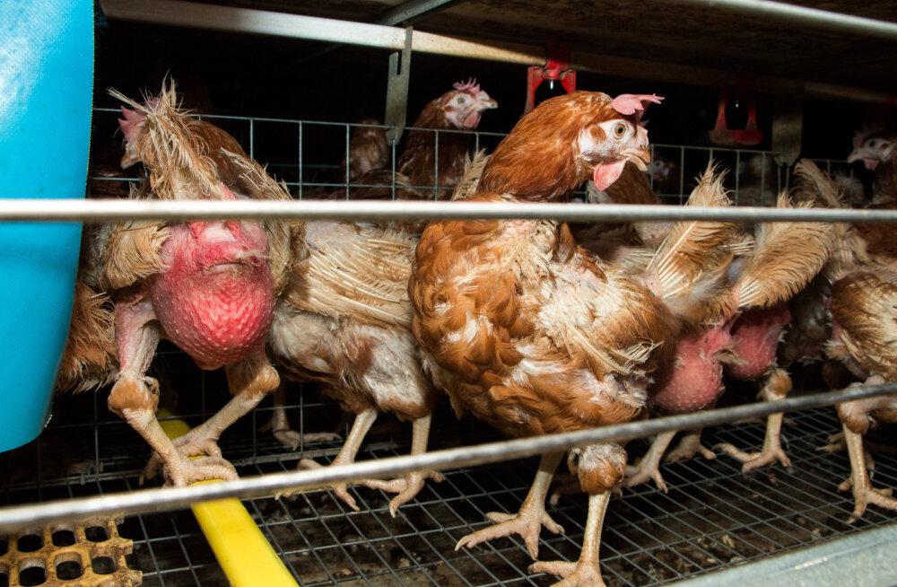 FOTOD: Eestis müüdavate kanamunade julma tootmisprotsessi telgitagused on jõudnud avalikkuse ette