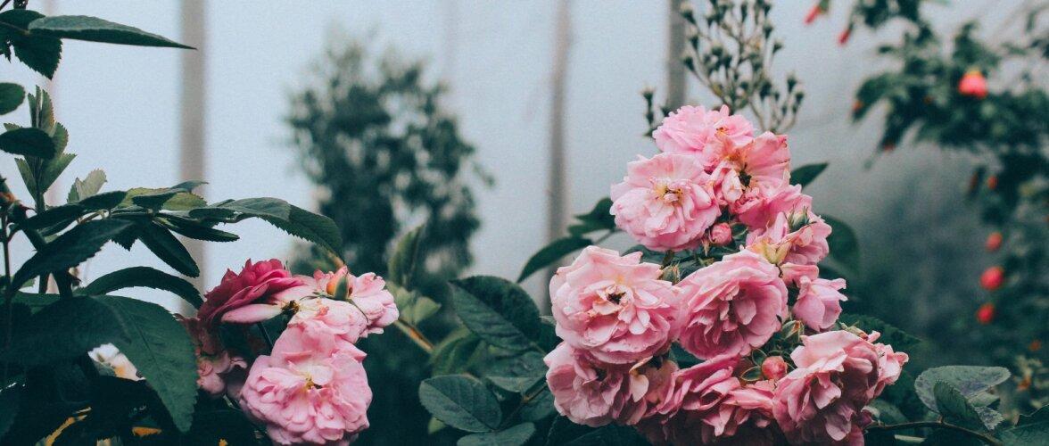 Rooside sügisesest hooldamisest ja talveks katmisest