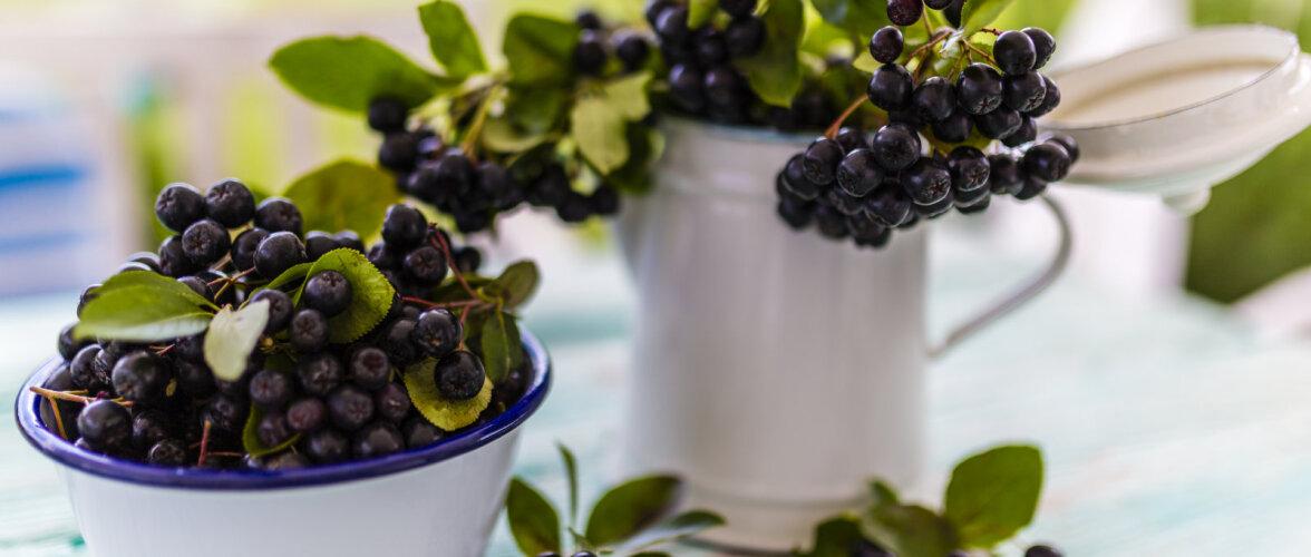 Kuidas valmistada musta aroonia kosutavatest marjadest kompotti ja püreed