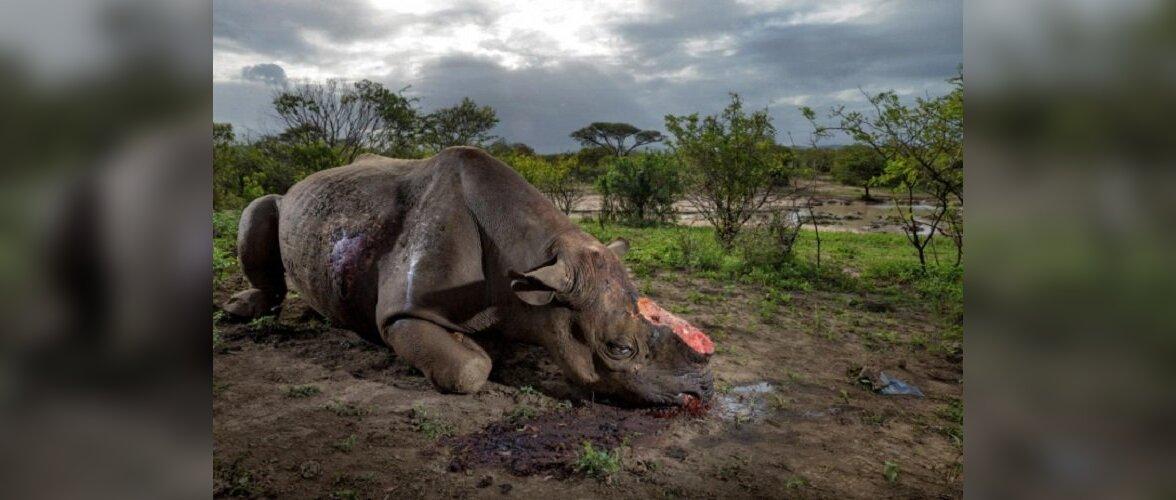 Утратить веру в человечество: почему мертвые носороги дороже живых