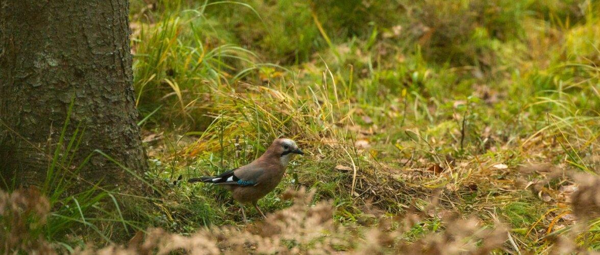 Inglased linnuvaatlusel ja karuvalves