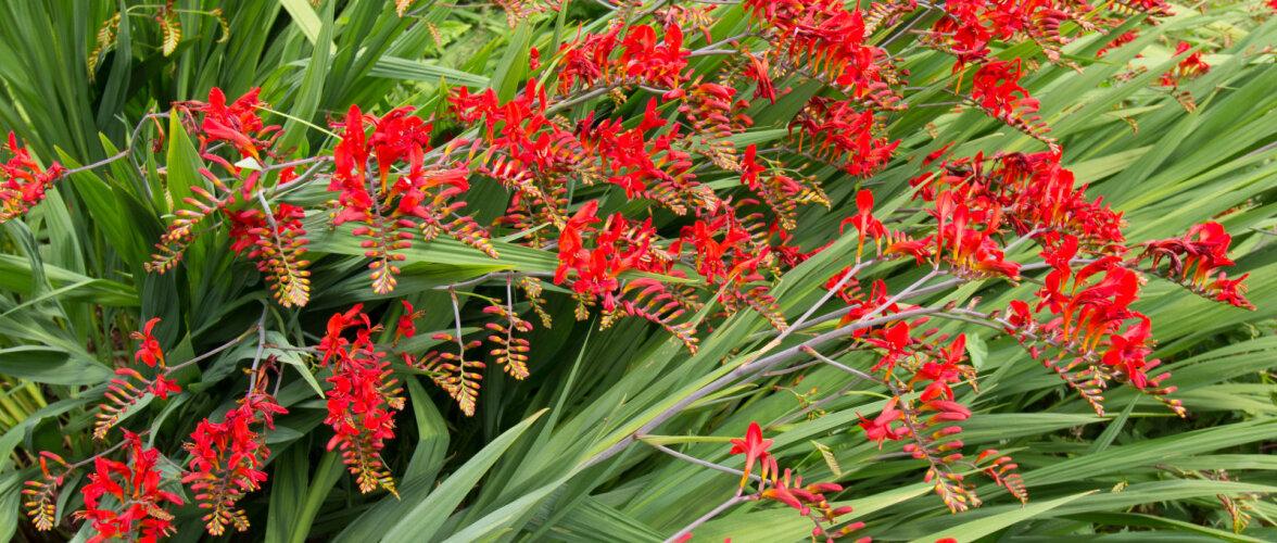 Millised lillesibulad tuleb sügisel hoopis üles võtta?
