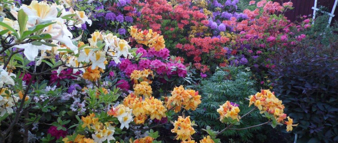 Rododendronid koduaias Kilingi-Nõmmel