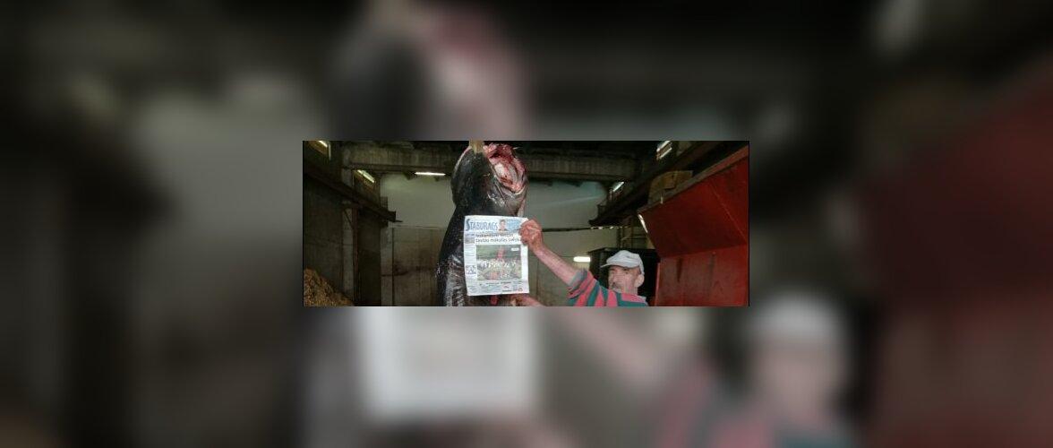ФОТО: В Латвии в Даугаве поймали гигантского сома