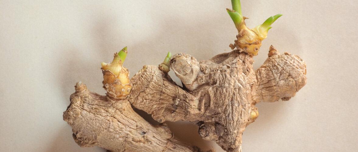 Virgutav amps või huvitav toataim? Soovitused, kuidas kasvatada ingverit potis