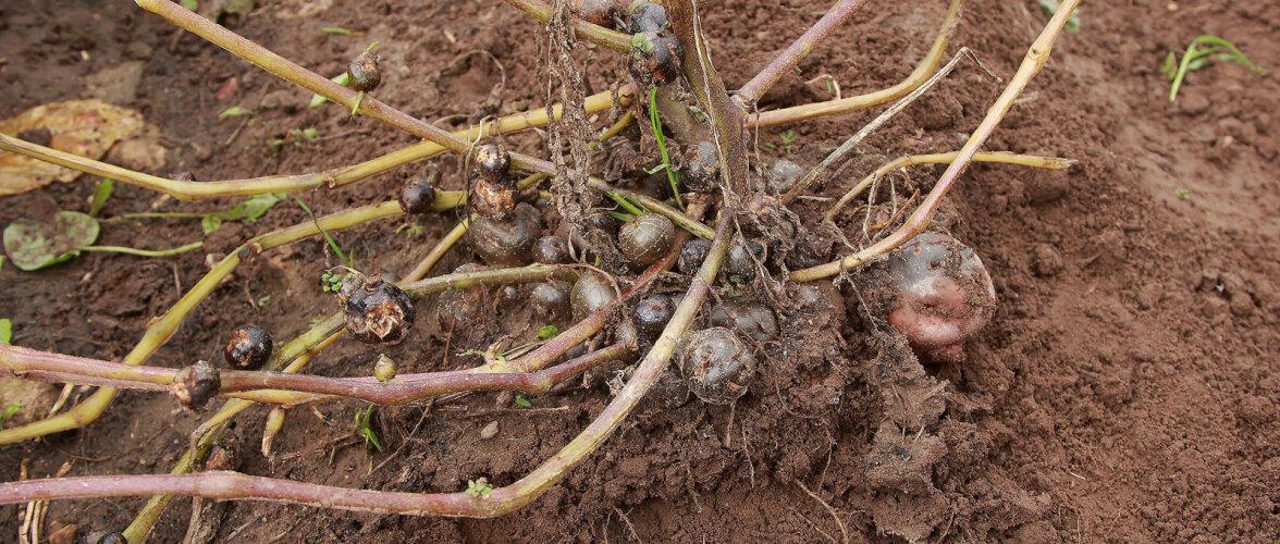 Millega on tegemist, kui osa mugulaid kasvab kobaratena mullapinnal, isegi vartel?