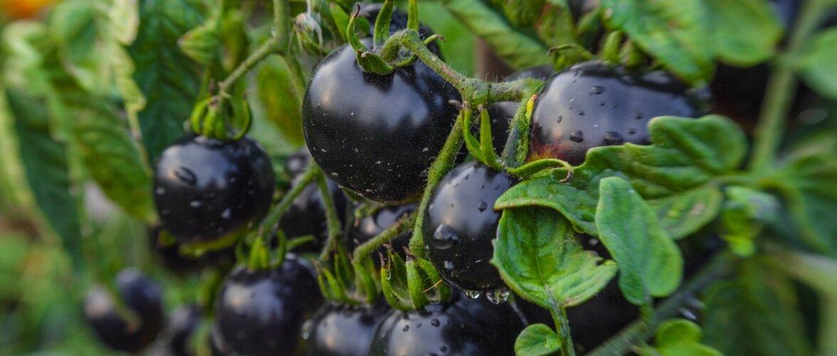 Tomatitaim on täitunud mustjaspurpursete viljadega.