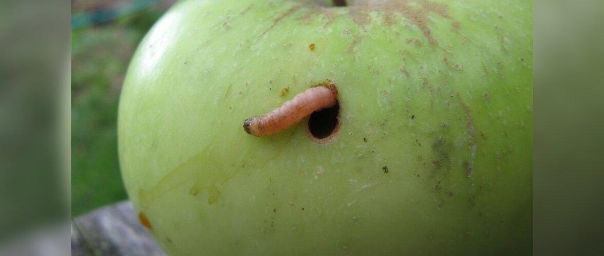 õunauss