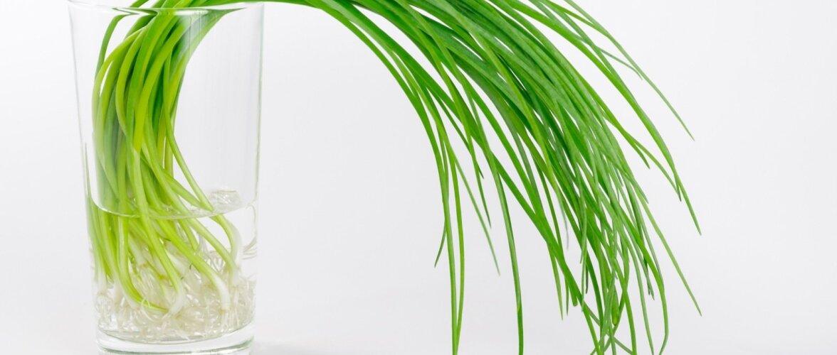 Sibulavarred klaasis võivad asendada isegi lilli.