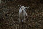 Tudulinna vallavanema laudast leiti hooletusse jäetud lambad
