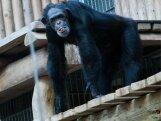 Tallinna loomaaia ahvid tähistavad ahviaasta algust