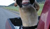 GALERII: Koerad, kellele meeldib autoga sõita