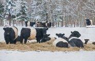 Poegivat lehma ründas kiskja, hukkusid nii vasikas kui veis
