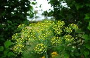 Imeravim aedtill: peletab vähki, soodustab seedimist ja rahustab närve