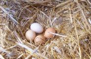 Pruun muna on tervislikum kui valge? Uurime viit levinud müüti kanamunade kohta