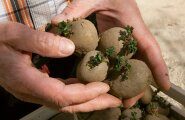 """""""Olen tänavu aiapidajatele eelidandanud sellise kartuli, kus idud on juba rohelised – nii kui mulda paned, on see kartul kaks nädalat arengus ees,"""" tutvustab Kalle Hamburg kartulisorti 'Flavia', mida müüakse neljakilostes kastides."""