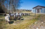 Saaremaa Ökoküla loomafarm