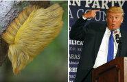 Donald Trumpi kuulus soeng elab Peruus puu otsas iseseisvat elu