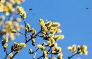 Mesilased pajuõitel
