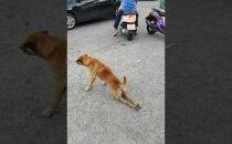 VIDEO | Koer teeskleb halvatust, et linnarahvalt sööki välja petta