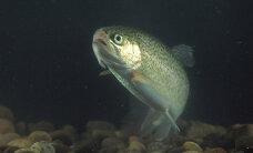 Hea küsimus: kuidas kala tapmise viis mõjutab selle maitset?