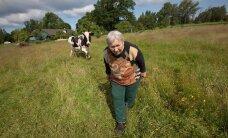 Tiskre lehmapidajale ei jää isegi pealinn ette