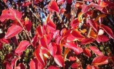 Kas lehtede värvumise põhjustab öökülm?