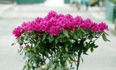 Tartu Bauhofi kaupluses tuvastati ohtliku taimekahjustajaga rododendronid