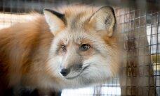Международная петиция призывает Эстонию к запрету звероводческих ферм