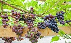 Viinapuude sügisene tagasilõikus ja ettevalmistus talveks