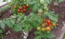 Ära söö juurest varreni: viis söödavat vilja, millel on mürgiseid osi