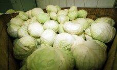 Salvest закатает в банки 1300 тонн капусты
