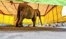 Ministeerium: tsirkusetöötajad piinavad loomi julmalt