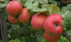 Польские яблоки сильно подешевели из-за российского эмбарго