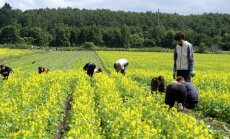 Aianduses ja põllumajanduses loodetakse lastest ja noortest arvestatavat abiväge.