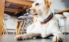 Kes valitseb majapidamist? 16 märki, et tegelikult on sinu koer majas tõeline peremees