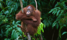 Palmiõlitööstus hävitab paradiisi