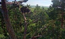 Merikotkapoeg Rahu tõusis pärast pikka toiduga meelitamist pesapuult lendu