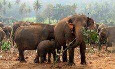 Презервативы в Африке приспособили для отпугивания слонов