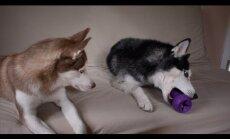Naerutav VIDEO: Peretüli huskyde moodi: Laika tõreleb Mishkaga mänguasja kaotamise pärast