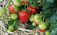 Üheksa näpunäidet, kuidas istutada maasikataimi