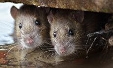 Targemad, kui me arvame | teadlased avastasid rottide kohta midagi senini tundmatut ja väidetavalt vaid inimestele ja ahvidele omast