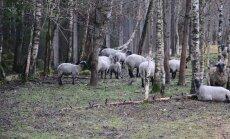 FOTOD JA VIDEO SAAREMAALT: Eesti Energia juhile kuuluvas farmis väärkoheldud loomad tuli tappa