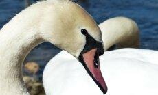 Kurb vaatepilt: miks hukkub Väikese väina tammil igal aastal sadu noori linde?