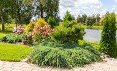 Hea on istutada peenras ühte taksonit mitmesse kohta, nii tuleb taimede ilu esile ja üldmulje kujuneb harmoonilisem. Istutusalal korduvad kirju kadakas ´Blue Carpet´, kollaseokkaline hariliku elupuu sort ´Rheingold´ ja roosid.