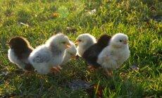 Proosu talu kana kolis laudast õue põõsasse ja haudus novembrikuus peaskonna tibusid