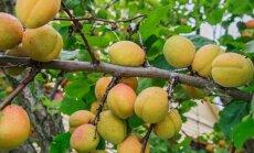 Aprikoosid Anatoli Burlakovi aprikoosipuul