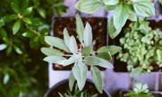 NÕUANDEID   Kõik, mida tasub teada maitsetaimede kasvatamisest ja säilitamisest