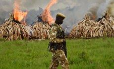 Keenias pisteti laupäeval tuli otsa enam kui sajale tonnile elevandiluule